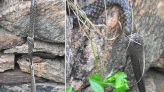 Dua ular berebut ikan gabus.