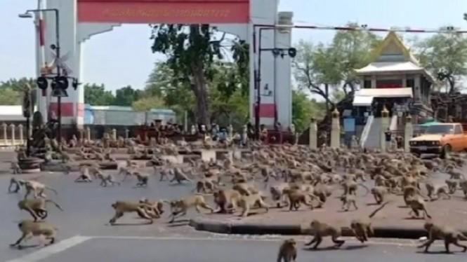 Ratusan monyet turun ke jalanan.