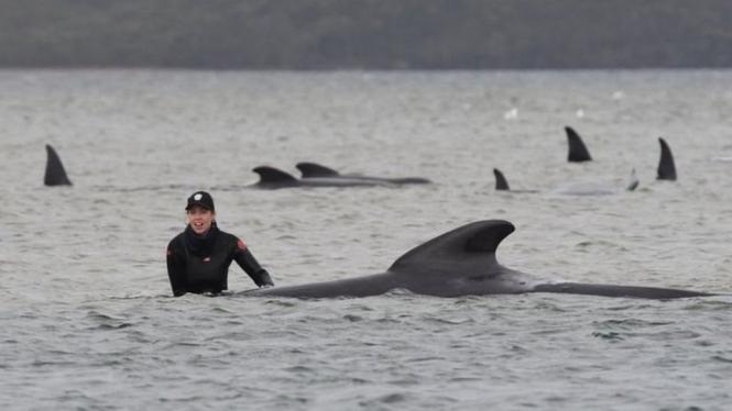 Tim penolong yang sudah terlatih tengah berjuang untuk menyelamatkan beberapa paus yang tersisa.-TASMANIA GOVERNMENT