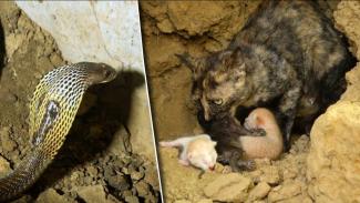 Ular kobra gigit anak kucing.