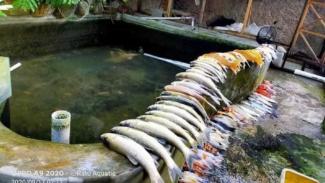 Ikan hias jenis Koi mati