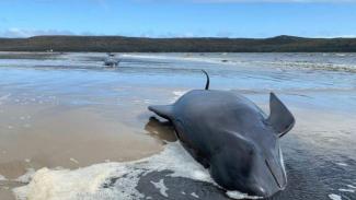 Peristiwa pendamparan 460 paus di Tasmania menjadi yang terbesar di sepanjang sejarah Australia.