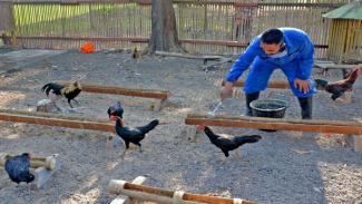 VIVA Militer: Prajurit Yonif 1 Marinir Ternak Ayam