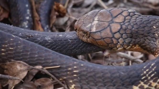 King cobra berburu ular lainnya.
