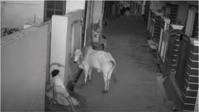 Seekor banteng menyerang seorang nenek dan cucunya.
