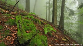Hutan Purba di Rumania.