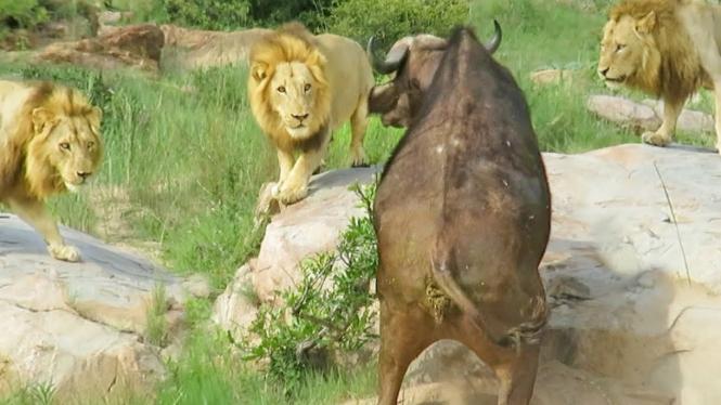 Kerbau liar vs tiga singa jantan.