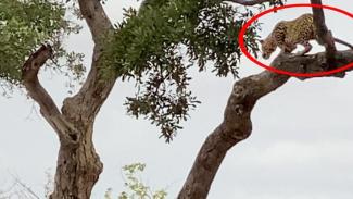 Macan tutul berburu dari atas pohon.