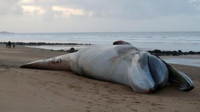 Ikan paus sirip terdampar di pantai