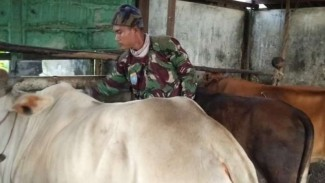 VIVA Militer: Kopda TNI Erianto kasih makan sapi.