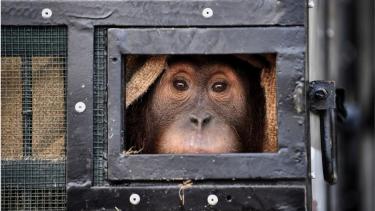 https://thumb.viva.co.id/media/frontend/thumbs3/2020/12/18/5fdc3b5b54e9f-11-orangutan-korban-penyelundupan-satwa-liar-di-thailand-dan-malaysia-dipulangkan-ke-indonesia_375_211.jpg
