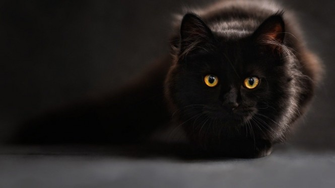 Kucing hitam.
