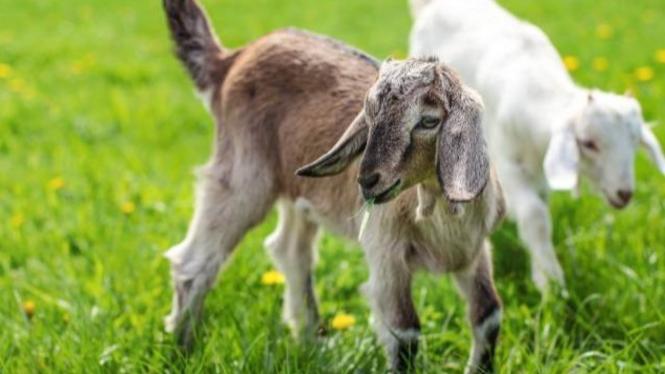 tips merawat kambing dimusim hujan