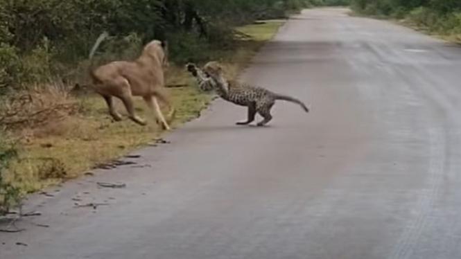 Singa vs macan tutul.