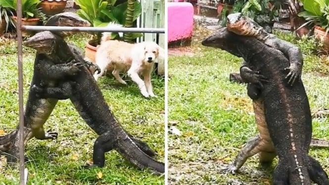 Biawak besar berkelahi.