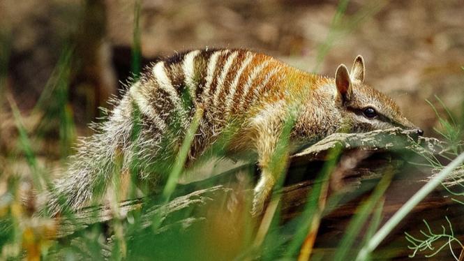 Numbat. hewan marsupial pemakan rayap