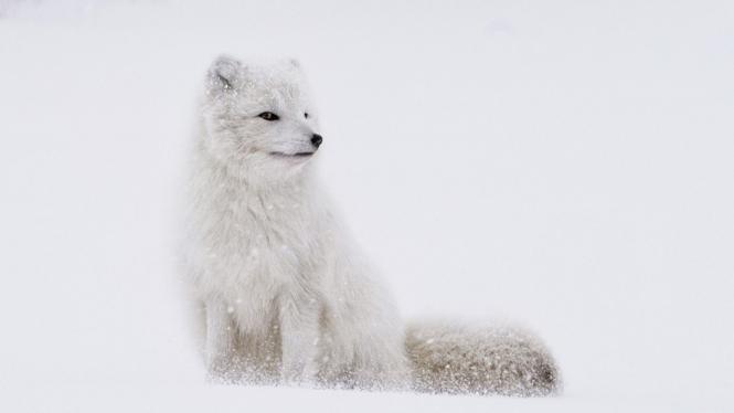 Rubah putih Arktik (Credit: Jonatan Pie/unsplash)