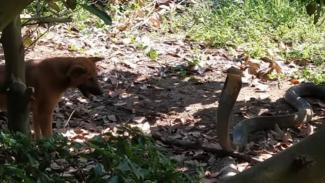 Anjing vs king kobra.
