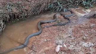 Ular king kobra dan piton saling menggigit.