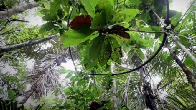 VIVA Militer: Pohon langka di pulau