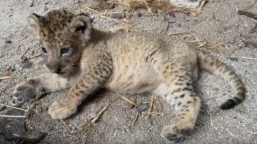 https://thumb.viva.co.id/media/frontend/thumbs3/2021/01/31/60163eec08118-simba-si-anak-singa-kini-berusia-tiga-bulan_375_211.jpg