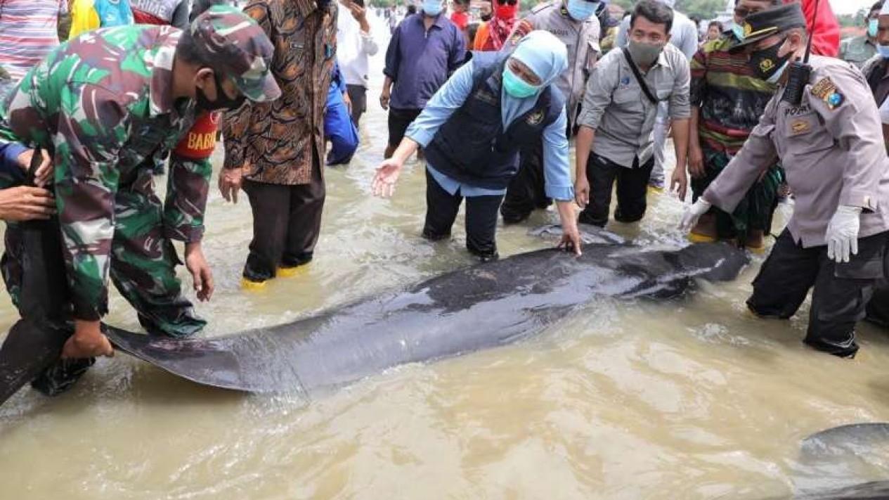 Gubernur Jawa Timur Khofifah Indar Parawansa melepas seekor dari puluhan paus yang terdampar di Selat Madura di Kabupaten Bangkalan pada Kamis, 18 Februari 2021.