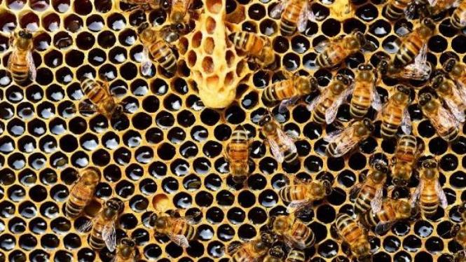 Lebah madu.