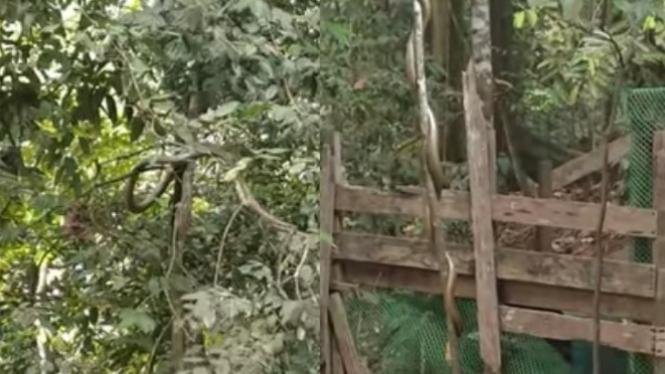 Ular king kobra bergelantungan.