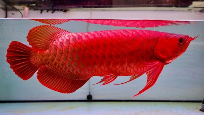 Ikan Arowana yang disebut keturunan hewan purba