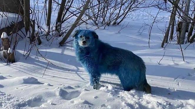 Foto anjing di Rusia yang bulunya disebut berubah warna