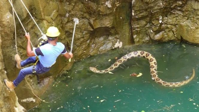Penyelamatan ular berbisa di sumur.