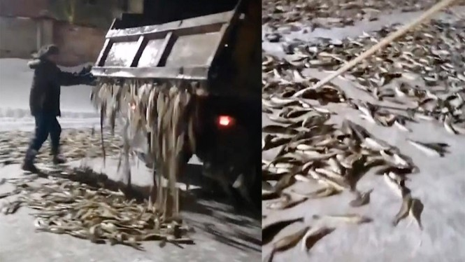 Ikan navaga 'dibuang' di jalan.