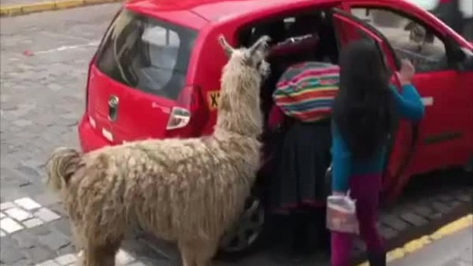 Seekor hewan llama dibawa masuk ke dalam taksi
