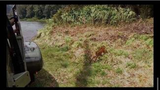 VIVA Militer: Seekor Harimau Sumatera Turun dari Helikopter Super Puma TNI AU