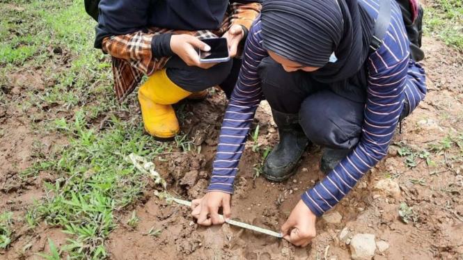 Mengukur Jejak Harimau yang Memakan Ternak Warga di Agam, Sumatera Barat
