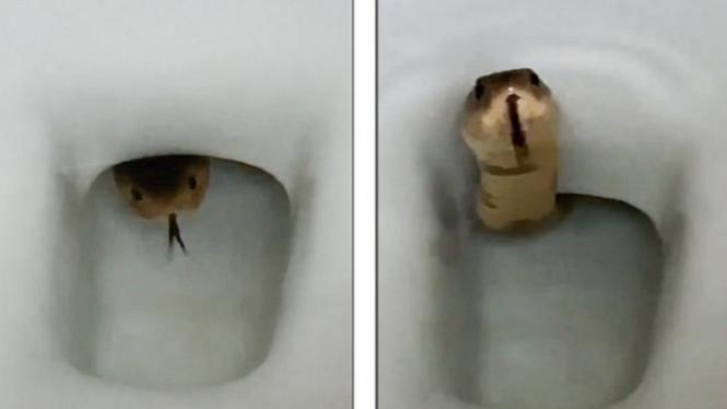 Ular king cobra di dalam toilet.