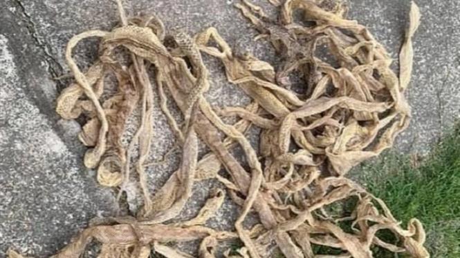 Penemuan kulit ular di loteng.