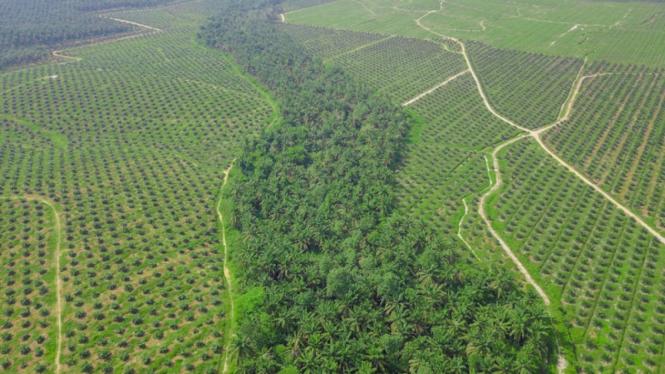 Cegah Pembukaan Lahan Baru, Replanting jadi Wujud Sawit Berkelanjutan