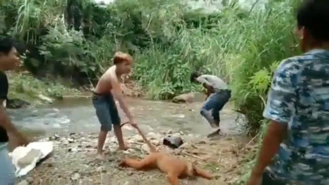 Beredar video empat pemuda siksa primata langka Simpai.