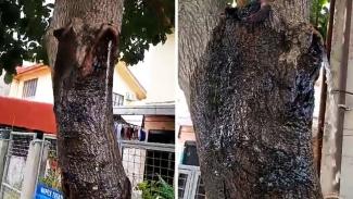 Pohon alpukat besar keluarkan air.