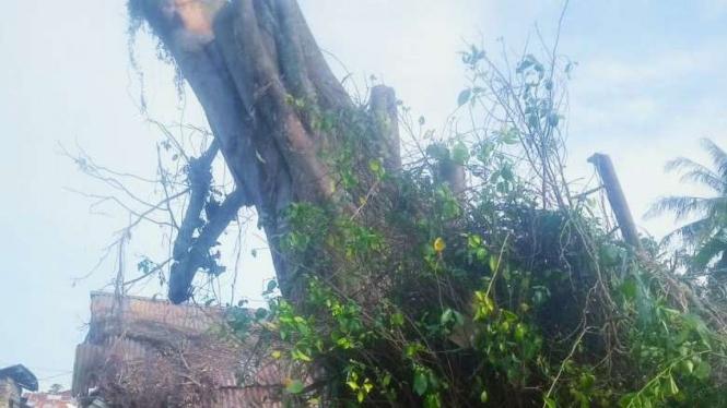 Pohon ratusan tahun tumbang, lalu berdiri kembali di Kota Tanjung Balai, Sumut. (ilustrasi)