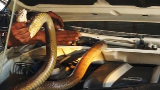 Ular king kobra di dalam mesin mobil.