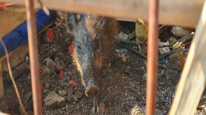 warga Depok menangkap seekor babi yang diduga babi ngepet.