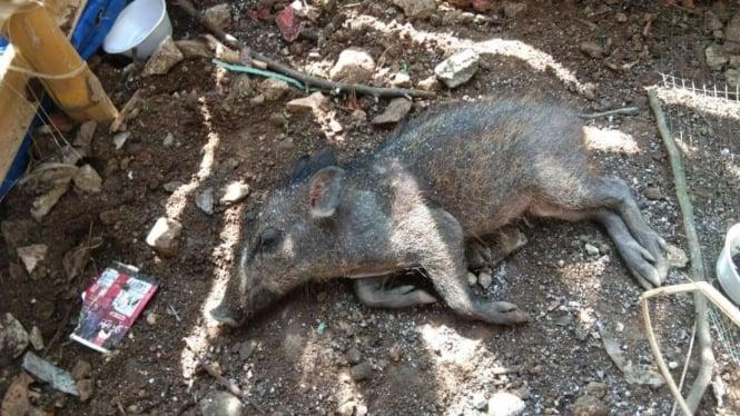 Geger Babi Ngepet di Depok, Ini Fakta yang Ditemukan Polisi