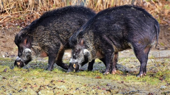 Ilustrasi babi hutan.