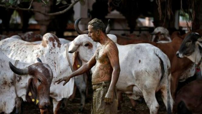 Warga India mandi dengan kotoran sapi