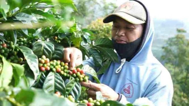 Petani setempat memetik kopi Arabika Windusari saat panen