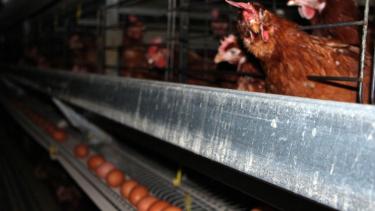 https://thumb.viva.co.id/media/frontend/thumbs3/2021/06/23/60d2ac26ace64-australia-akan-larang-usaha-peternakan-ayam-petelur-yang-dikandangkan_375_211.jpg