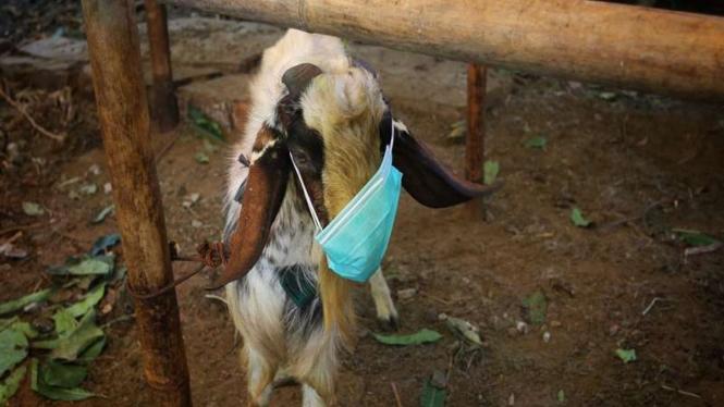 Pedagang hewan kurban memakaikan masker kambing untuk menarik perhatian