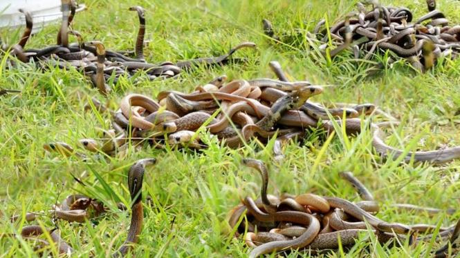 Penampakan 200 lebih ular kobra.